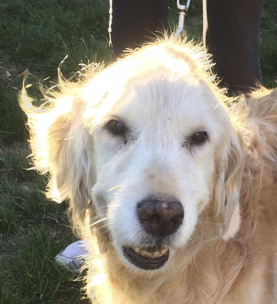 Senior Golden Retriever Smiling