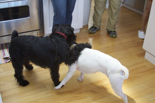 Black Standard Schnauzer With His Paw Around The Shoulders Of A White American Pit Bull Terrier