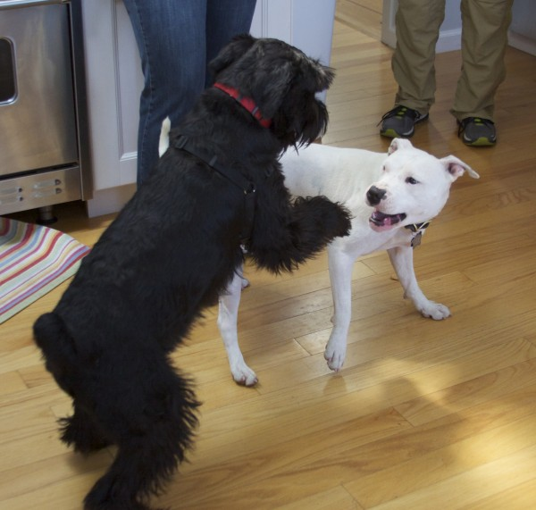 Black Standard Schnauzer And White American Pit Bull Terrier Playing