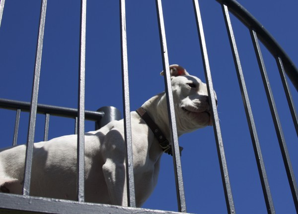 White Pit Bull Standing In Spiral Staircase Against Blue Sky