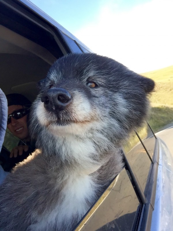 Twenty-Year-Old Keeshond Border Collie Mix Sticking Her Head Out The Window Of A Car