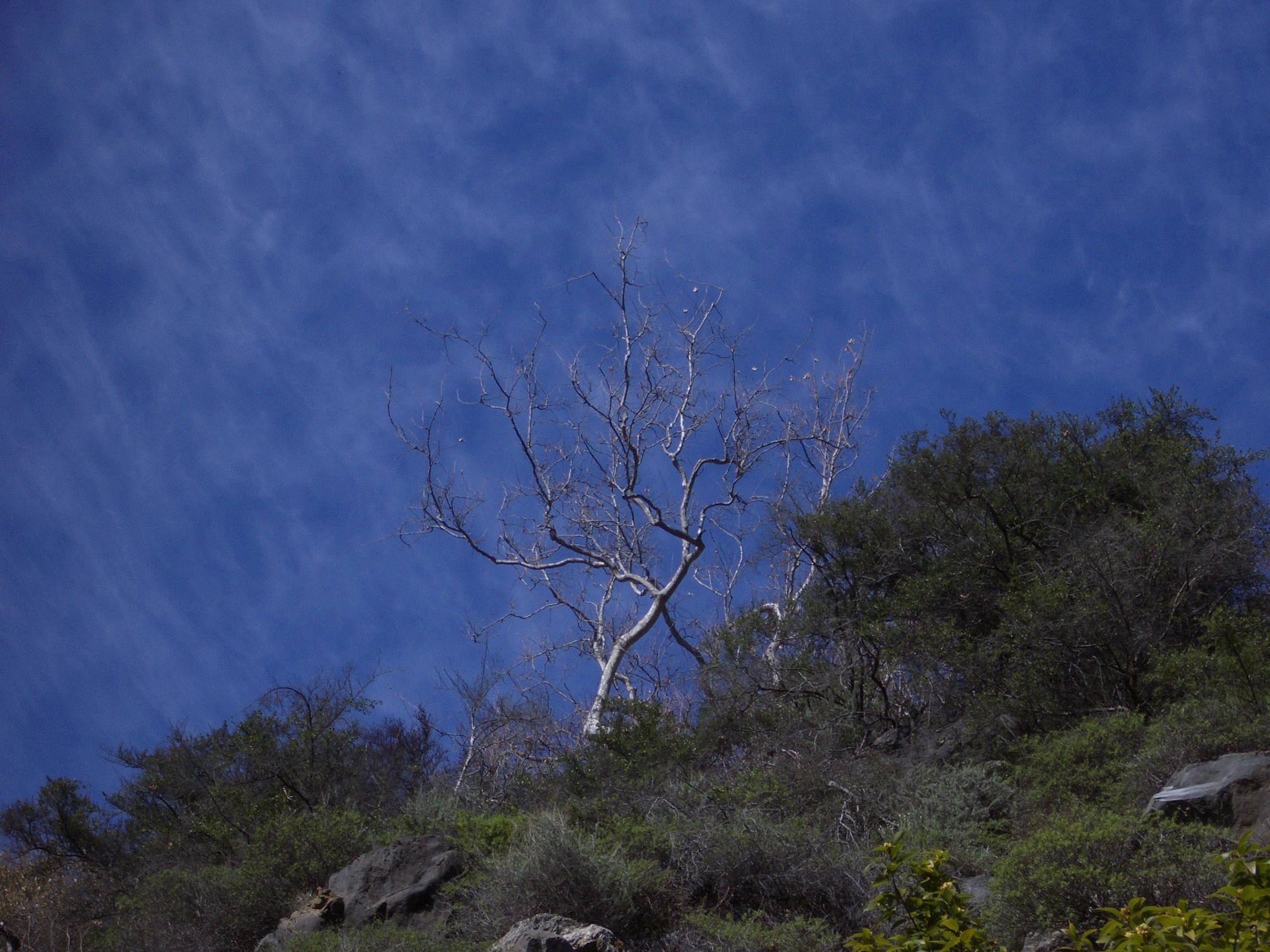White Dead Tree Against Blue Sky Stippled With Clouds