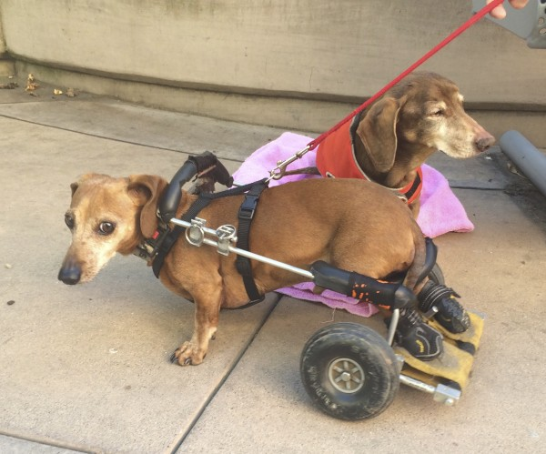 Two Dachshunds, One With Wheels On His Hind Legs, Look In Opposite Directions
