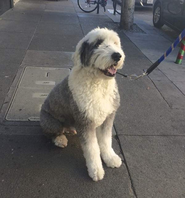 Grey And White Old English Sheepdog Sitting And Looking Happy