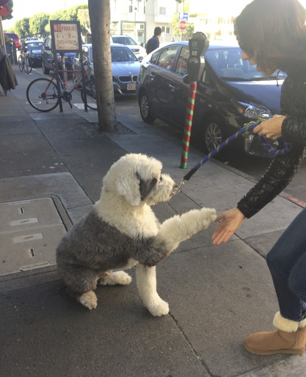 Grey And White Old English Sheepdog Sitting And Shaking Hands With A Woman