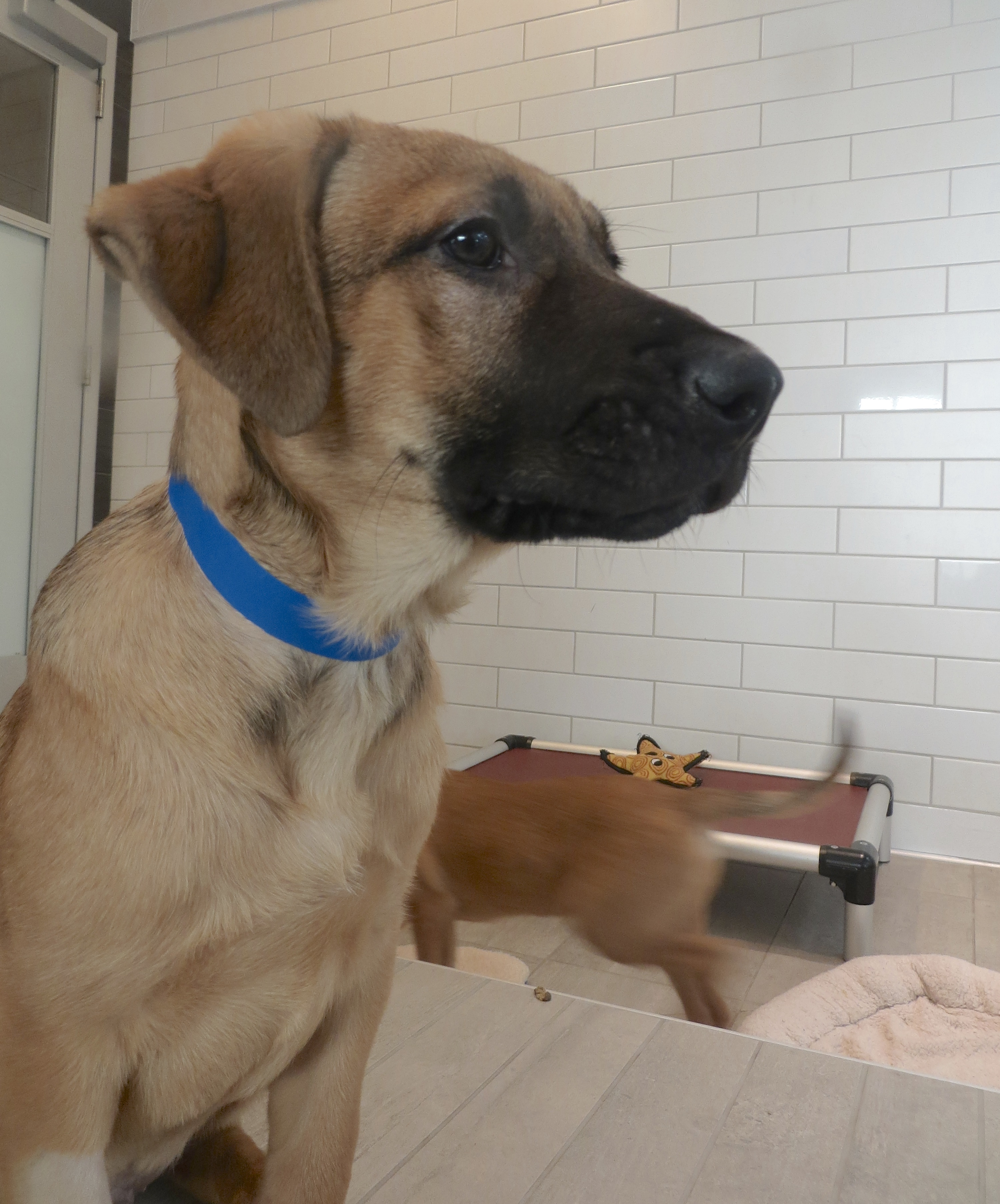 Boxer Mix Puppy Staring Off Into Space