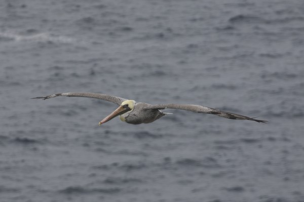 Brown Pelican Flying Towards The Camera