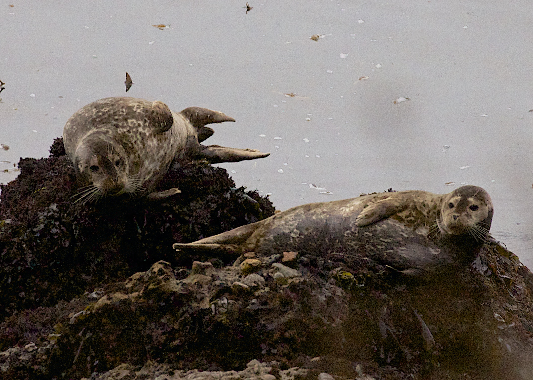 Two Harbor Seals On A Rock In The Monterey Bay