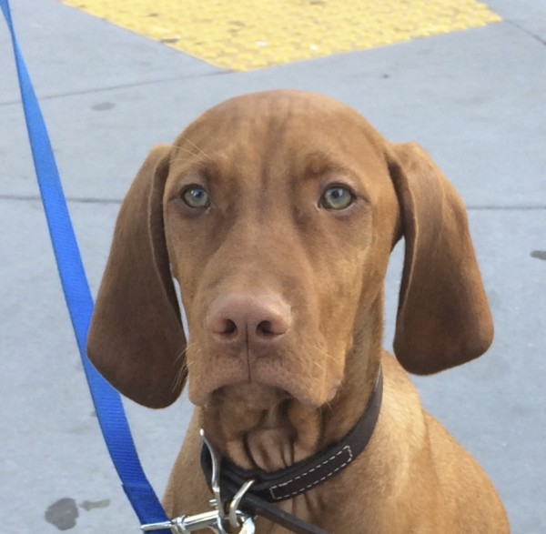 Young Vizsla Looking Stoic And Proud