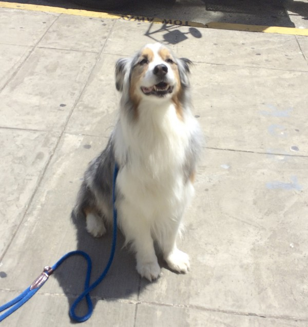 Tricolor Blue Merle Australian Shepherd With A Ridiculously Fluffy Chest Sitting And Smiling