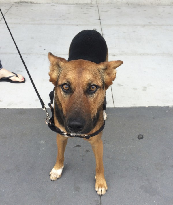 Black And Tan German Shepherd Mix With Ears Folded Back