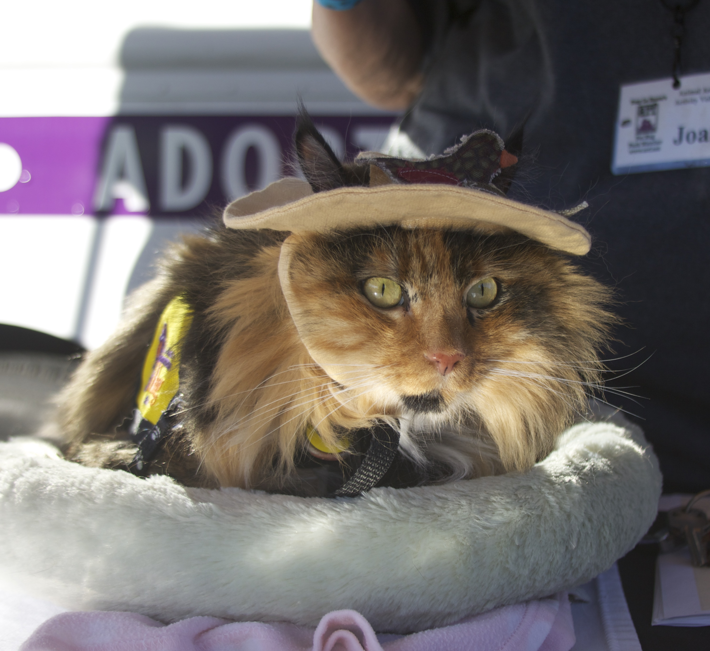 Long-Haired Calico Cat With Very Constricted Pupils Wearing Vest And Cloth Cap With Earholes