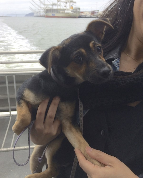 Woman Holding Black And Tan Chihuahua Mix Puppy And Holding Her Paw