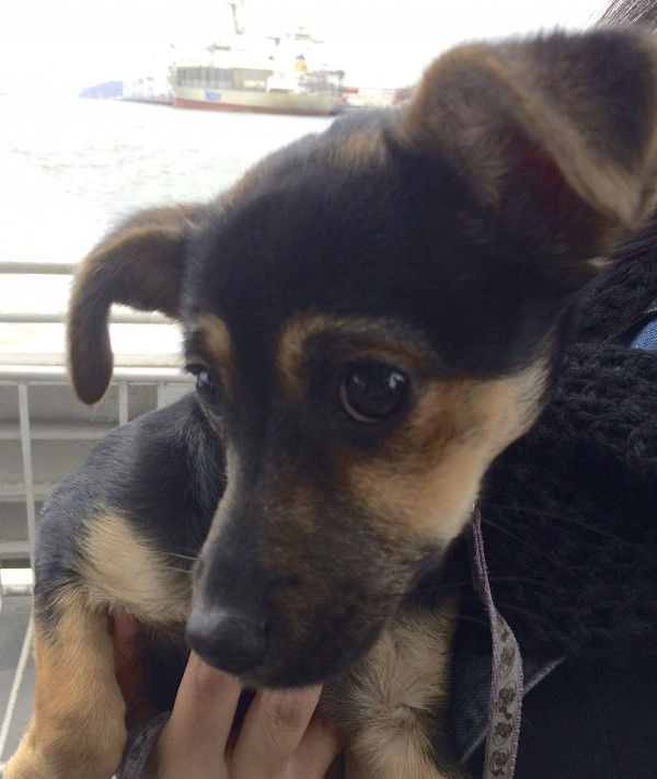 Close-Up Of Face Of Chihuahua Mix Puppy With Half-Erect Ears