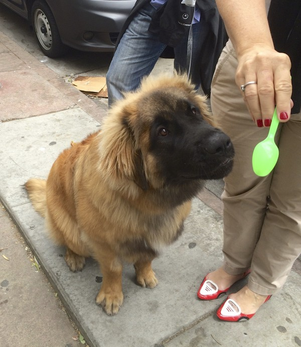 Sitting Leonberger Stretching Forward To Try To Sniff Green Plastic Spoon