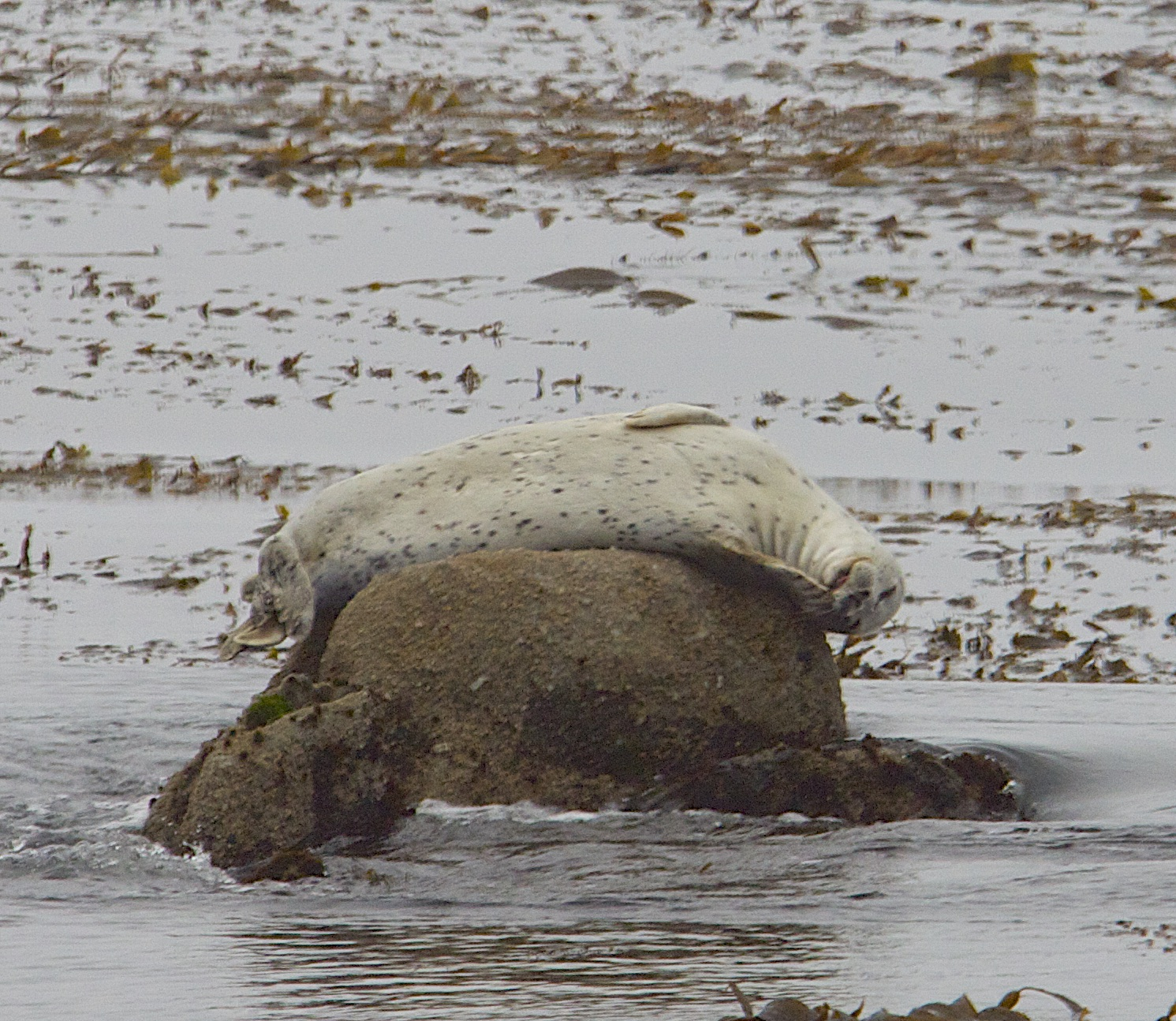 Young Harbor Seal Basking On A Rock, Grinning, And Covering Her Mouth With Her Flipper