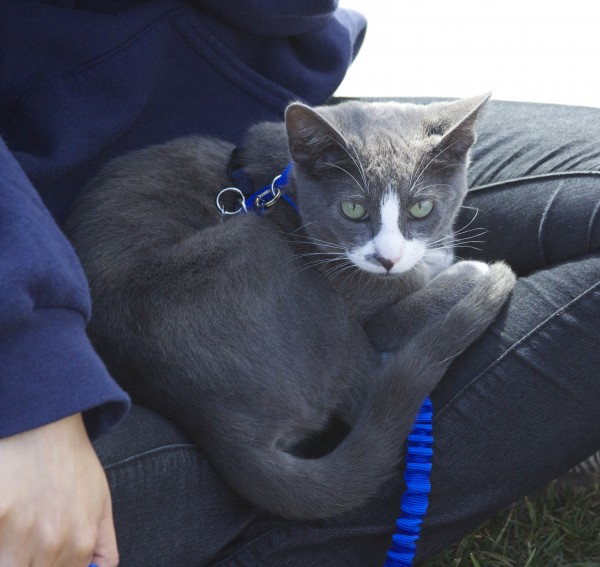 Grey And White Cat On A Leash Sitting In Someone's Lap
