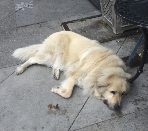 White Great Pyrenees Anatolian Shepherd Mix Sprawled Out On The Ground, Totally Relaxed