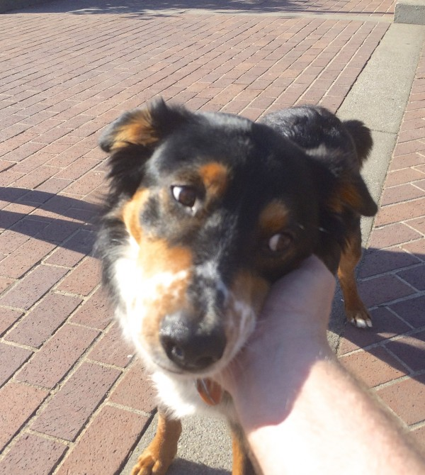 Tricolor Border Collie Australian Shepherd Mix With Funny Ears That Stick Out To The Side And Nose Freckles Looking Plaintive As He Is Petted By The Photographer