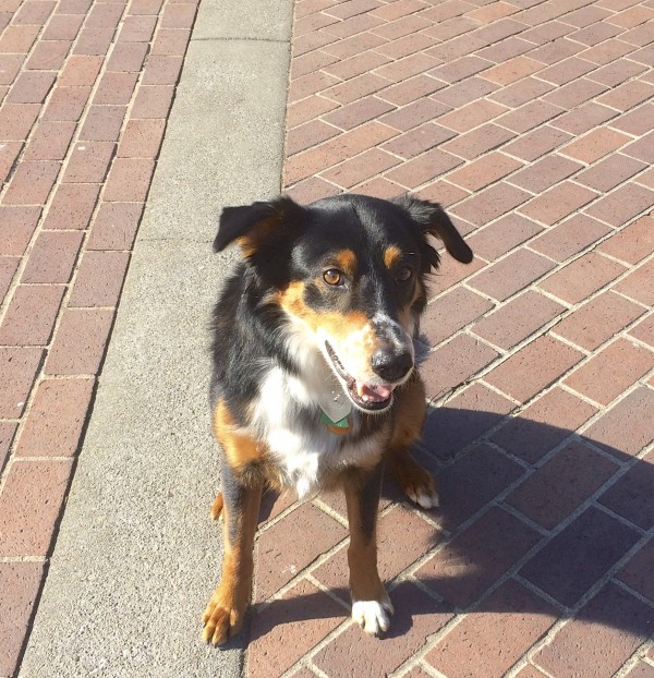 Smiling Tricolor Border Collie Australian Shepherd Mix With Funny Ears That Stick Out To The Side And Nose Freckles Sitting On Bricks