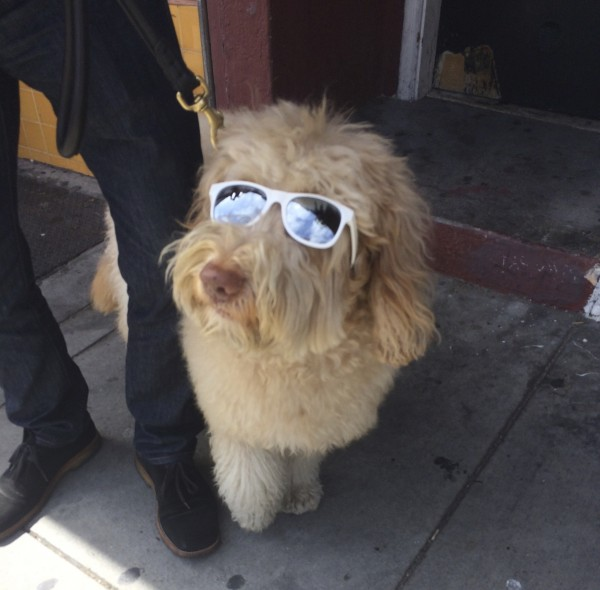 Flufy Labradoodle Wearing Sunglasses