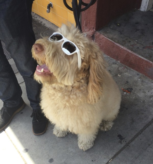 Extremely Happy And Flufy Yellow Labradoodle Wearing Sunglasses