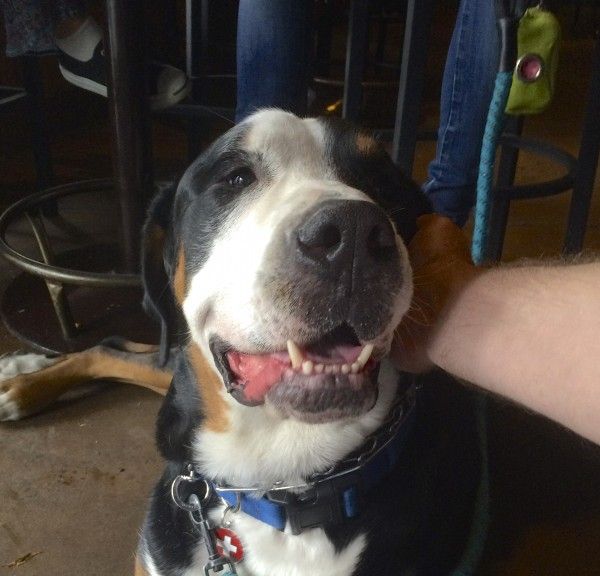 Greater Swiss Mountain Dog Face Smiling As He Is Petted By The Photographer