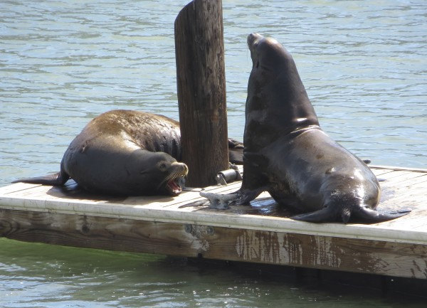 Two Sea Lions Arguing On A Pier