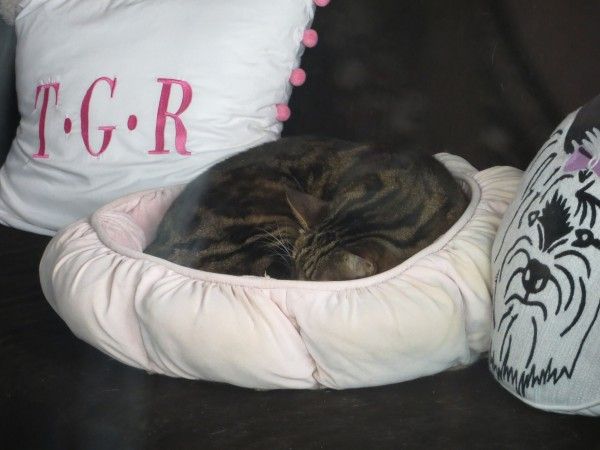 Tiger Tabby Cat Curled Up In A Pink Cat Bed