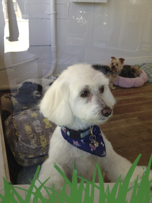 White Dog Looking Out Window