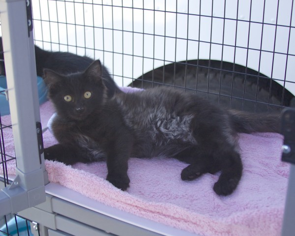 Black Cat With Some Grey On Her Tummy In A Cage