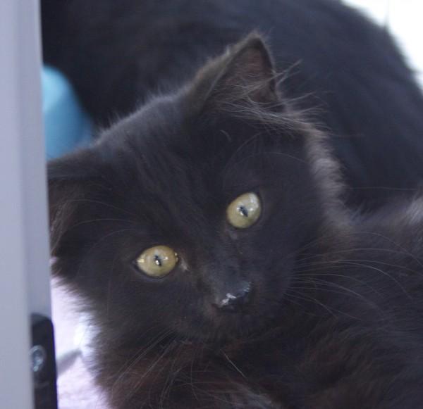 Black Kitten Face