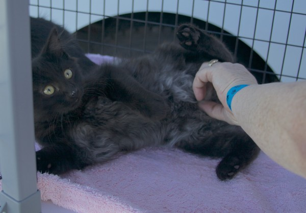 Woman Rubbing The Tummy Of A Black Kitten In A Cage