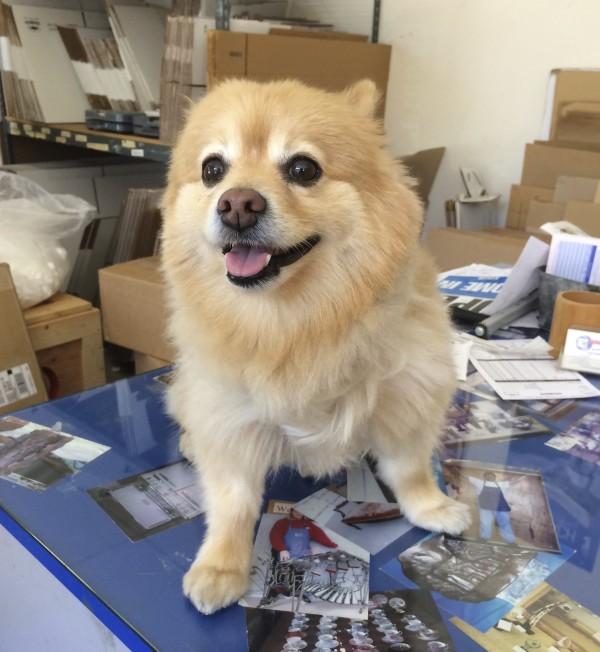 Brown Pomeranian Looking Happy