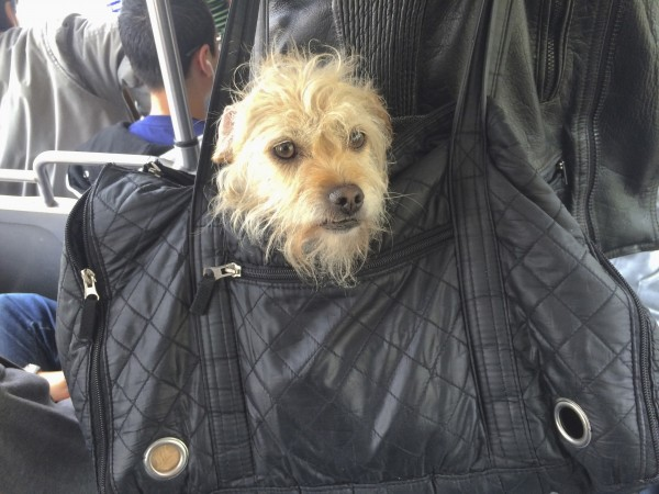 Dog Head Sticking Out Of Black Leather Bag