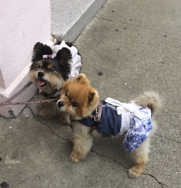 A Yorkshire Terrier And A Pomeranian, Both Wearing Dresses