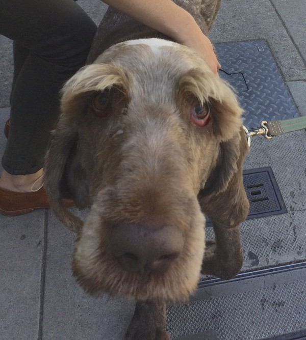 Shaved Spinone Italiano With Huge Eyebrows