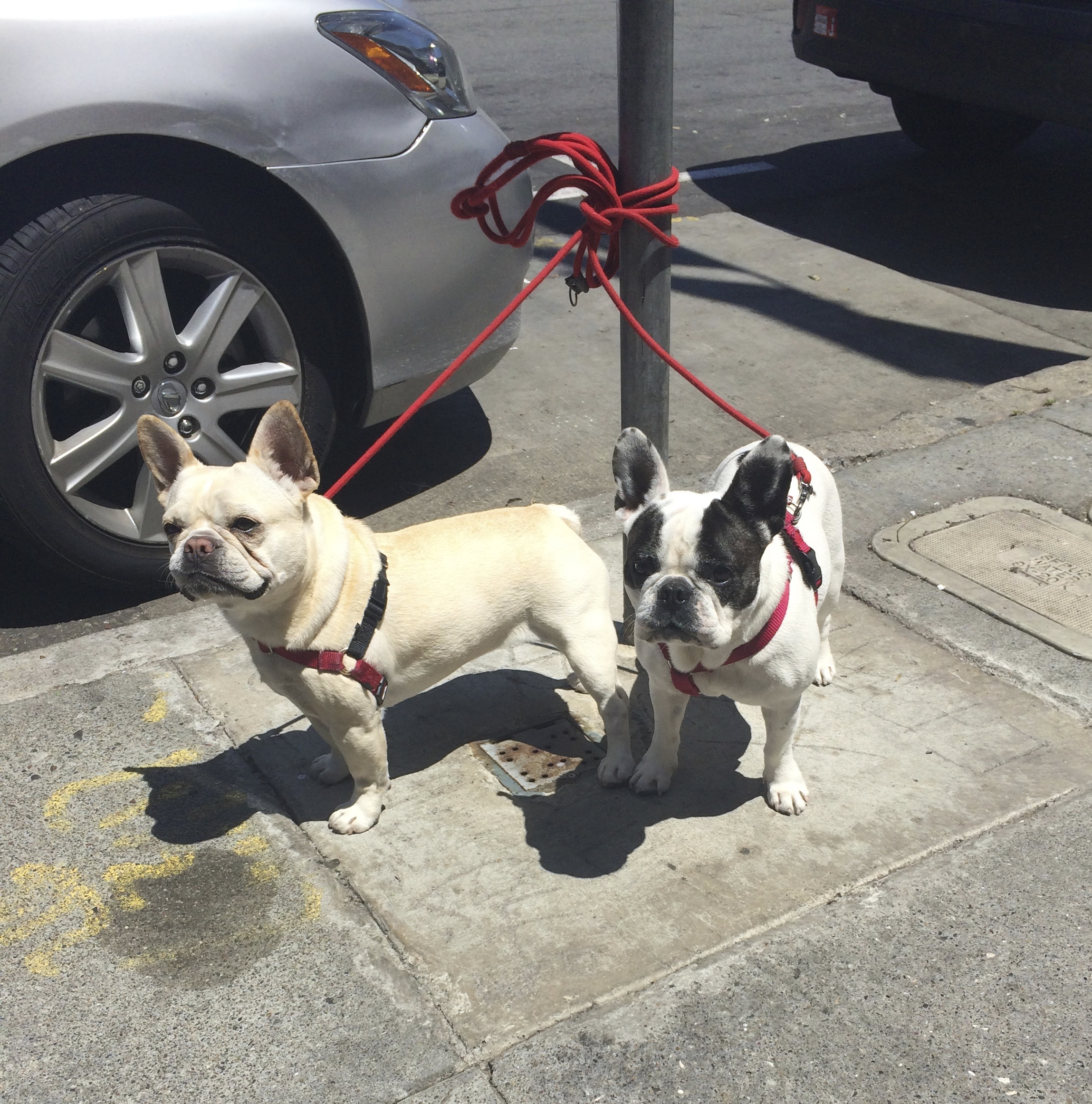 Tan French Bulldog And Black And White French Bulldog Tied To Parking Meter