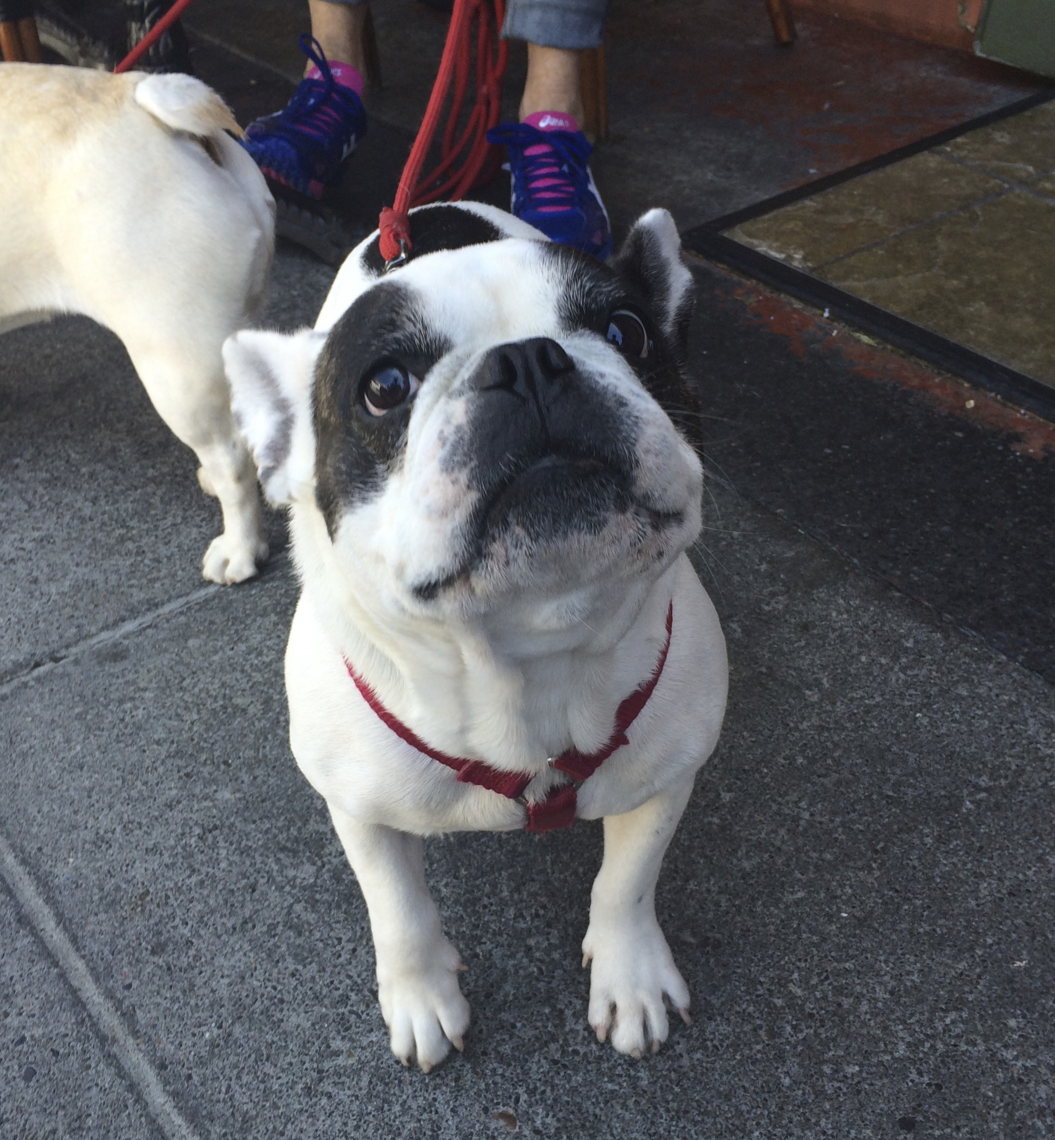 Black And White French Bulldog Looking Hopeful