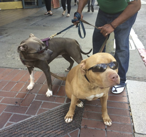 Fawn Pit Bull And Blue Pit Bull, Both Wearing Sunglasses