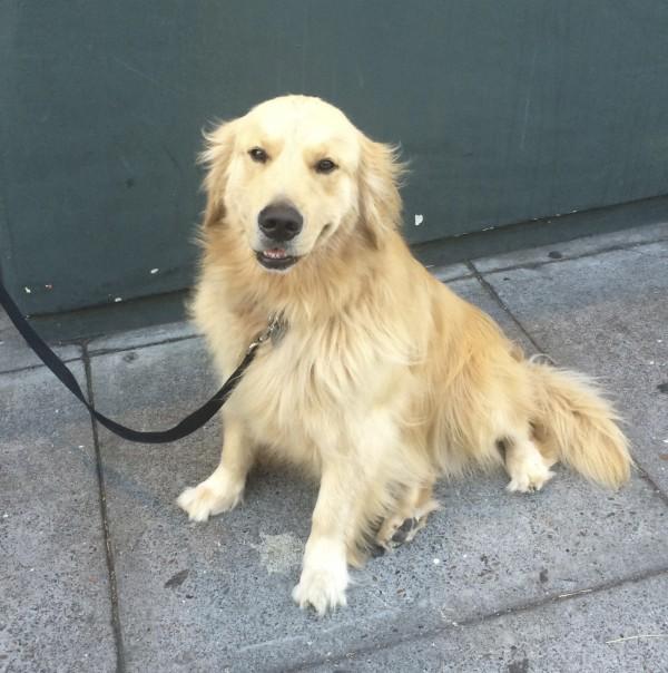 Golden Retriever Looking Happy
