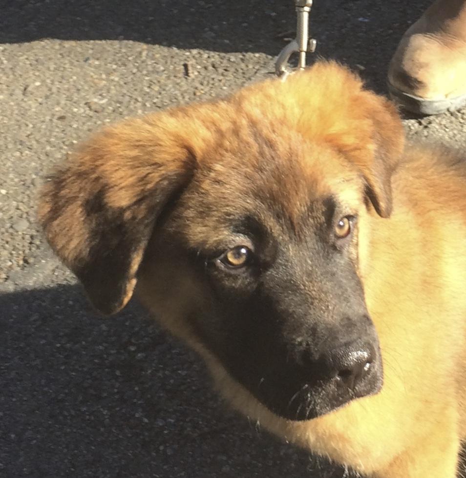 Fluffy Saint Bernard Mix Puppy, Tan With Black Face