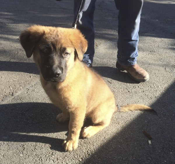 Fluffy Saint Bernard Mix Puppy, Tan With Black Face