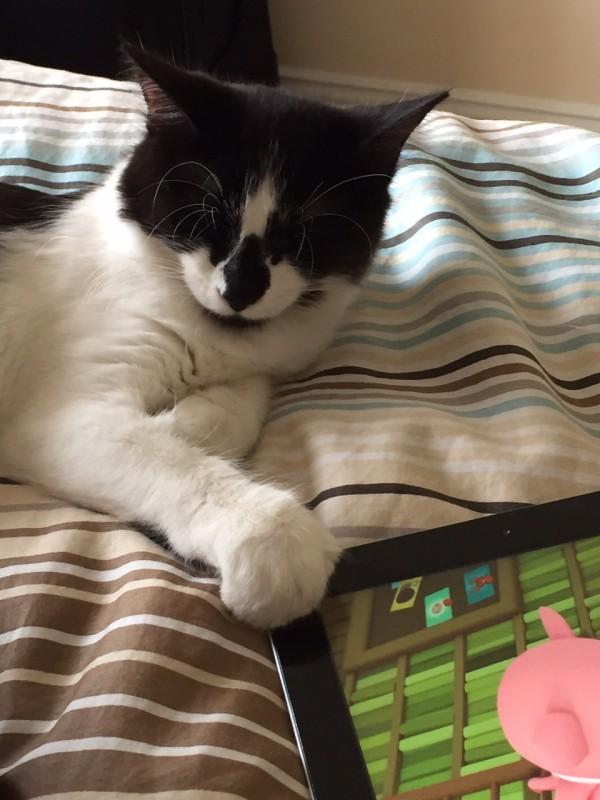 Tuxedo Cat Holding An iPad.