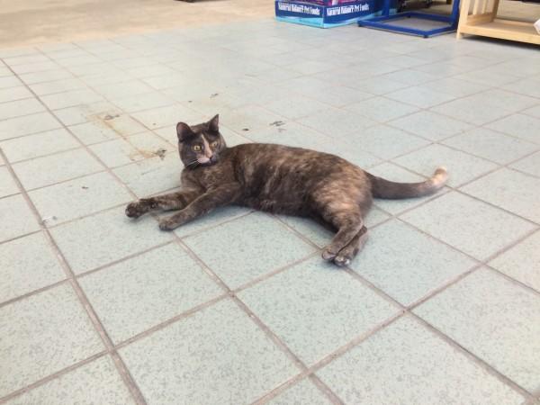 Tortoiseshell Cat Lying On A Tile Floor