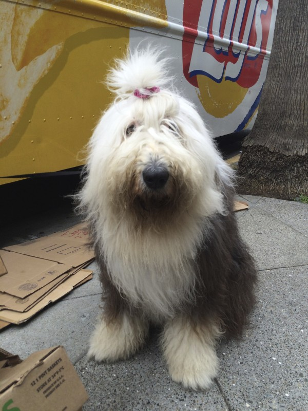 Very Shaggy Old English Sheepdog With Topknot