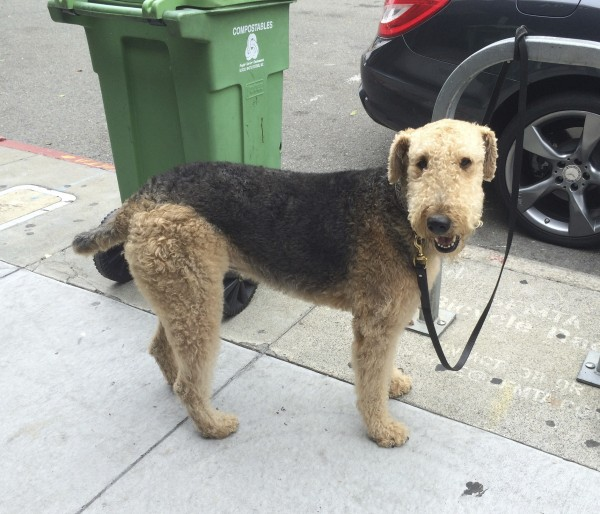 Airedale Terrier Tied To Post