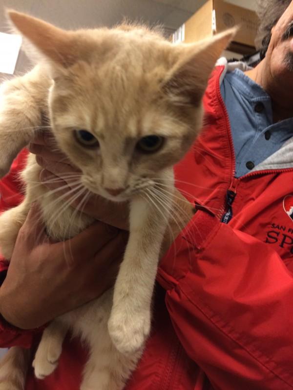SPCA Volunteer Holding Marmalade Cat