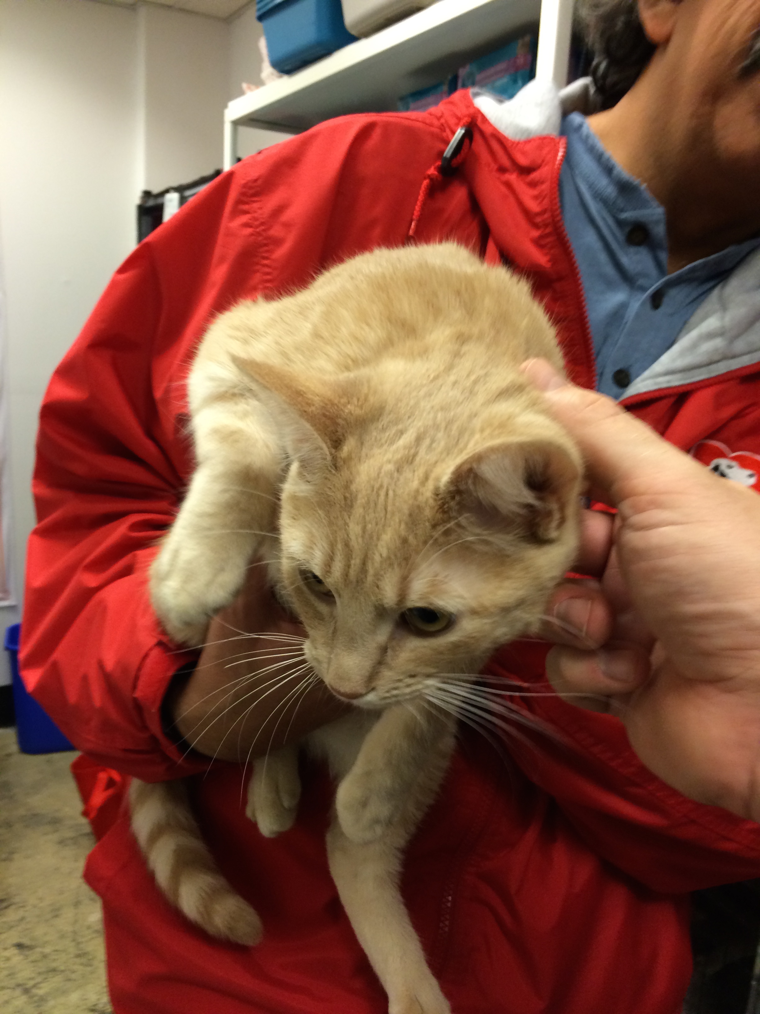 SPCA Volunteer Holding Marmalade Cat While He's Being Petted