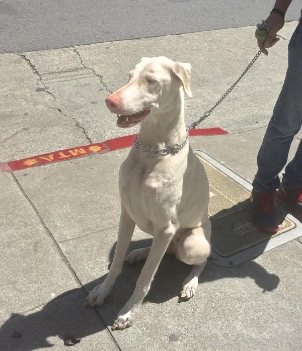 White Doberman Pinscher Sitting On A Sidewalk